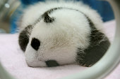 """Cute one month Baby Giant panda sleeping Chengdu, ChinaMore Panda image:"""