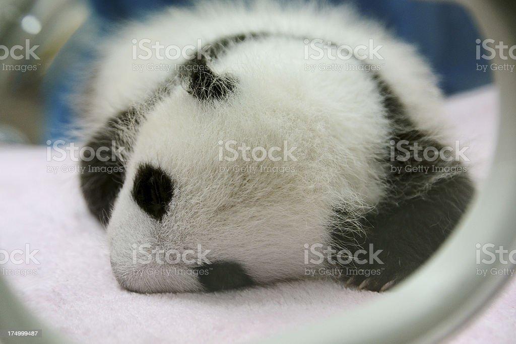 Cute one month Baby Giant panda sleeping stock photo