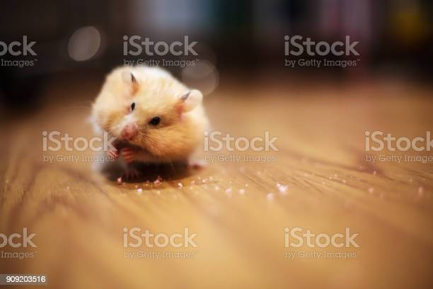 Cute orange and white syrian or golden hamster keeping food in to picture id909203516?b=1&k=6&m=909203516&s=612x612&h=en9yllxyba82bztfpremfwexmcccy vjuw3e5pwv7h4=