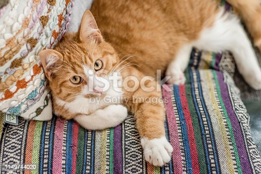 Sweet and curious expression on a red or orange and white tabby cat, an older kitten, looking at the camera