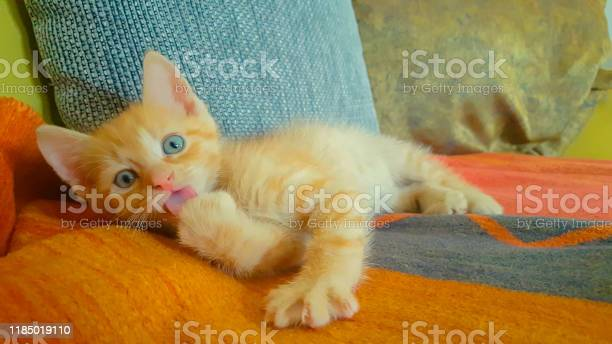 Cute orange baby kitty licking its tiny paw while lying on the couch picture id1185019110?b=1&k=6&m=1185019110&s=612x612&h=uueomr9cdnfvctb4r7srudd94ncwxdtpwyjelb1mvue=