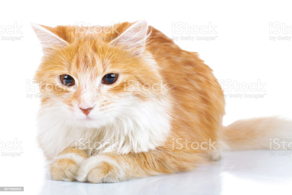 cute orange cat laying down stock photo