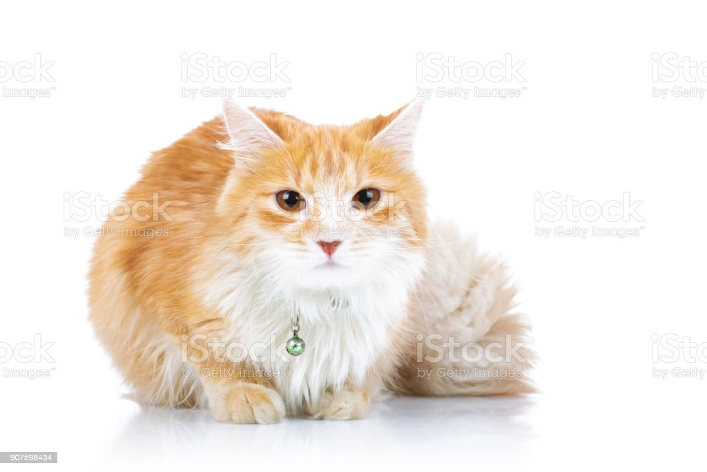 cute orange cat with furry tail sitting stock photo