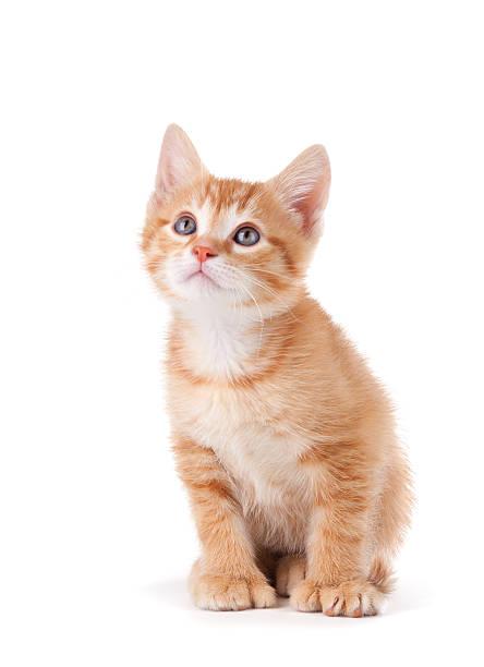 hübsch orange katze nachschlagen auf weißem hintergrund. - suche katze stock-fotos und bilder