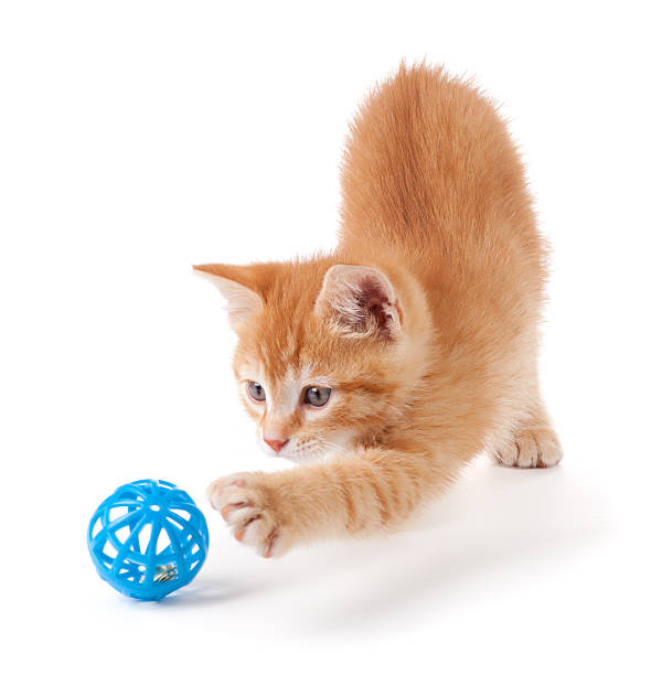 Cute orange kitten playing on a white background picture id147509725?b=1&k=6&m=147509725&s=612x612&w=0&h=sjvv2zejslwxj93rcwkwx5hmsx9sbeujrfkgazrtgbg=