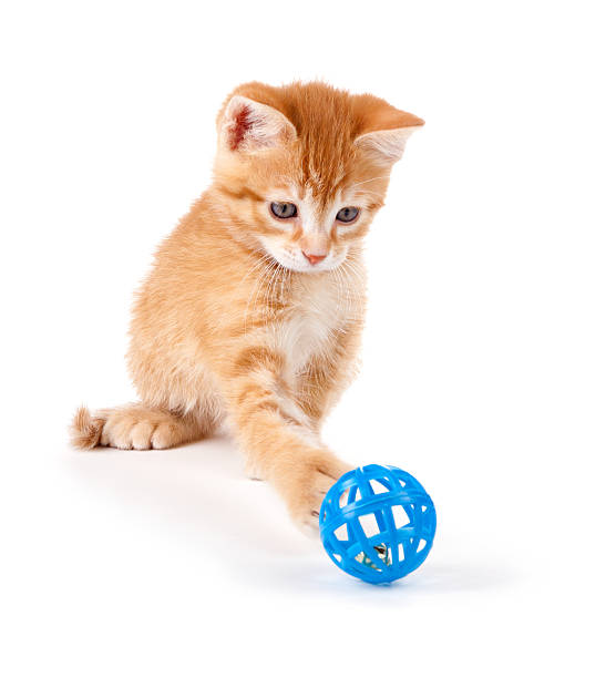 Cute orange kitten playing with a toy on white picture id148104099?b=1&k=6&m=148104099&s=612x612&w=0&h=zwioohh cbnk6ol9wcrhucko8hlcycel7ehg8 gmuey=
