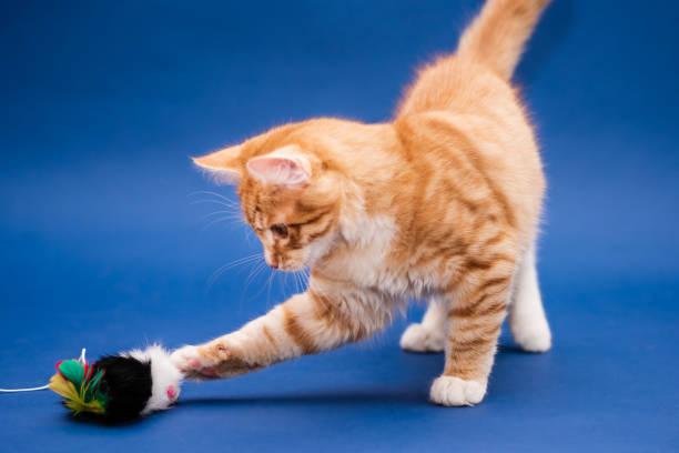 Cute orange kitten with a toy dark blue background picture id1186905824?b=1&k=6&m=1186905824&s=612x612&w=0&h=wddxfa7gnf7uxtir3bydifak1igyhwzgyzoys3ozbke=