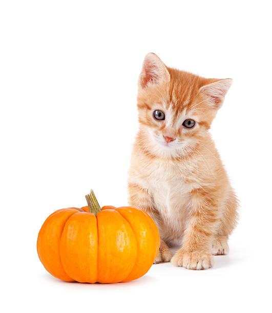 Cute orange kitten with mini pumpkin on white picture id508142105?b=1&k=6&m=508142105&s=612x612&w=0&h=oa6ysj7ogsqzbuhuk7s6rsu0znq4doduvcedtqhaoyg=
