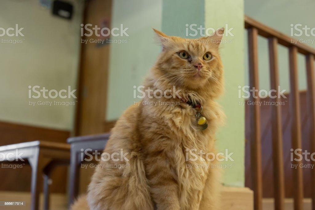 cute orange persian cat, domestic pets