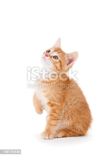 Curious orange kitten with large paws looking up on a white background.