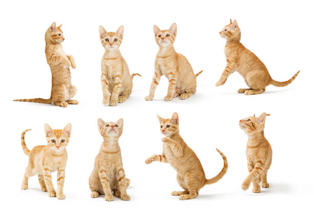 Cute orange tabby kitten in different positions picture id1023738912?b=1&k=6&m=1023738912&s=612x612&w=0&h=ygt3uxs59gaz7vaegzho6wz7rflg4ynp1qsajpumdou=