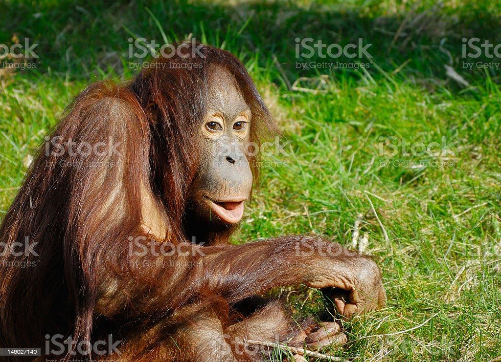 cute orangutan royalty-free stock photo