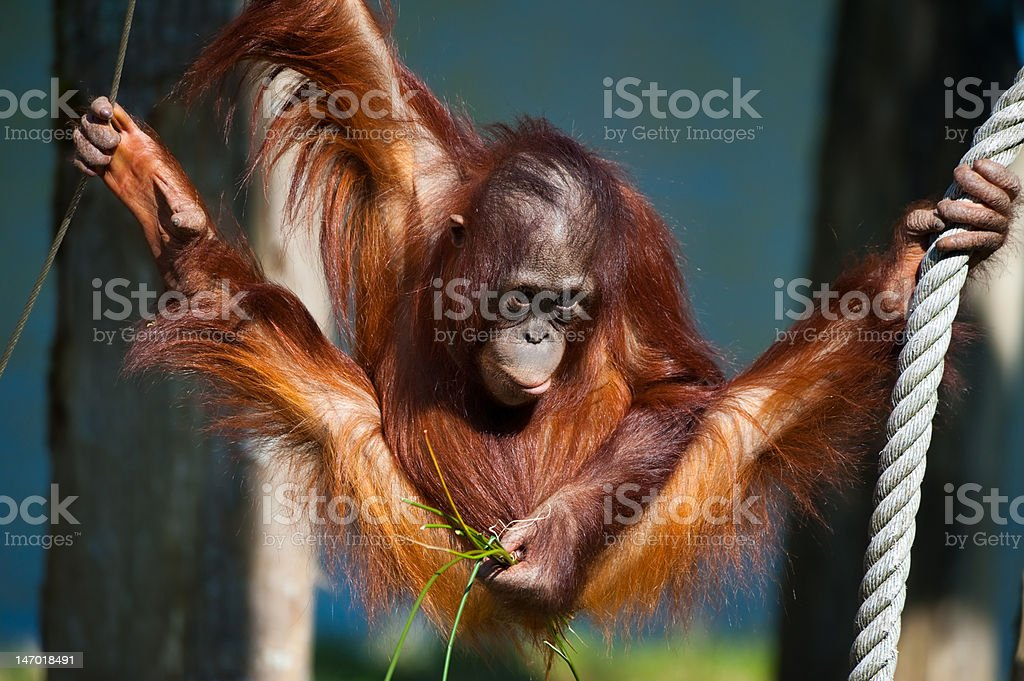 cute orangutan stock photo