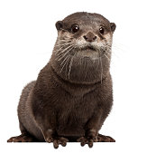 A cute oriental small-clawed otter on a white background