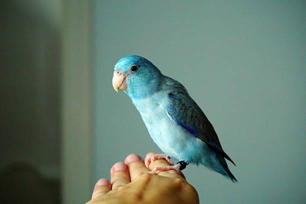 Cute pacific parrotlet bristle forpus coelestis picture id598702902?b=1&k=6&m=598702902&s=612x612&w=0&h=vg fej p9qhpljhv k4j n1q6iroaesgzabdiangfvy=