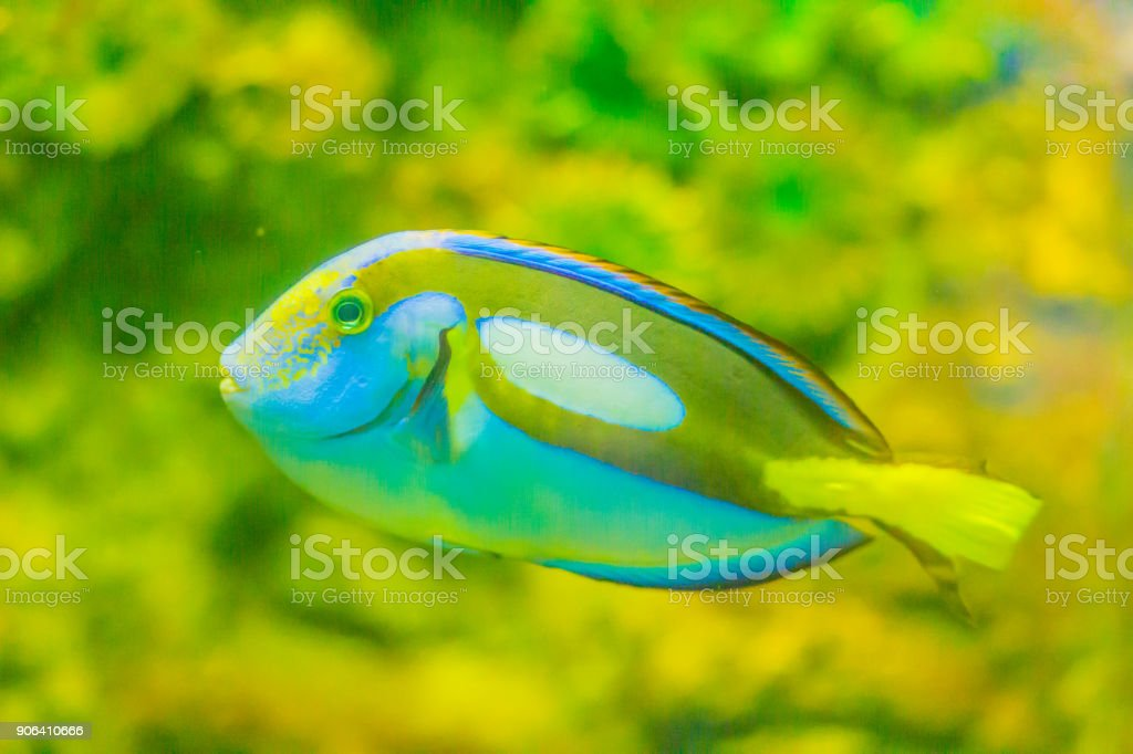 Cute Pacific regal blue tang fish (Paracanthurus hepatus) is swimming in aquarium. Paracanthurus hepatus is a species of Indo-Pacific surgeonfish. stock photo