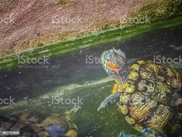 Cute painted terrapin turtle that forehead of male will have red or picture id902753940?b=1&k=6&m=902753940&s=612x612&h= 8svpikyijj7s57n21gz5etmhkjhm63bfqm2tjnyzrw=