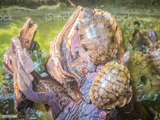 Cute painted terrapin turtle that forehead of male will have red or picture id902761068?b=1&k=6&m=902761068&s=612x612&h=n7p iydldtgisyqap4js6q3pplfgcbsflvbtfn5j5sy=