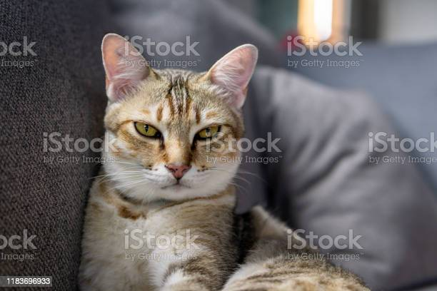 Cute pampered pet tabby kitten lying on sofa picture id1183696933?b=1&k=6&m=1183696933&s=612x612&h=bhquaxmcacsq aq9bxocqpaid ek1psos7rpfb8xby8=