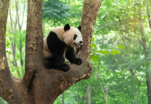 ours mignon de panda s'élevant dans l'arbre - panda photos et images de collection
