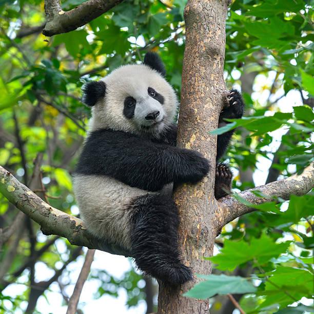 adorable ours panda l'escalade dans un arbre - panda photos et images de collection