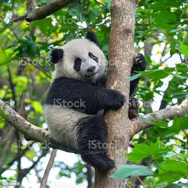 Photo libre de droit de Adorable Ours Panda Lescalade Dans Un Arbre banque d'images et plus d'images libres de droit de Animaux à l'état sauvage