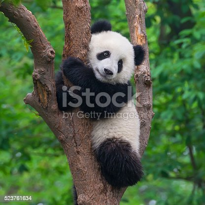 istock Cute panda bear climbing in tree 523761634