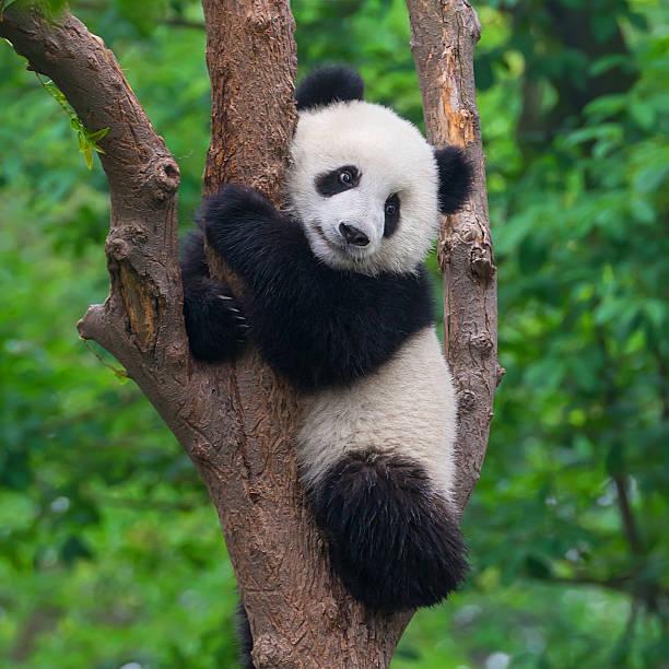 süßen panda bear klettern in tree - liebesbaum stock-fotos und bilder