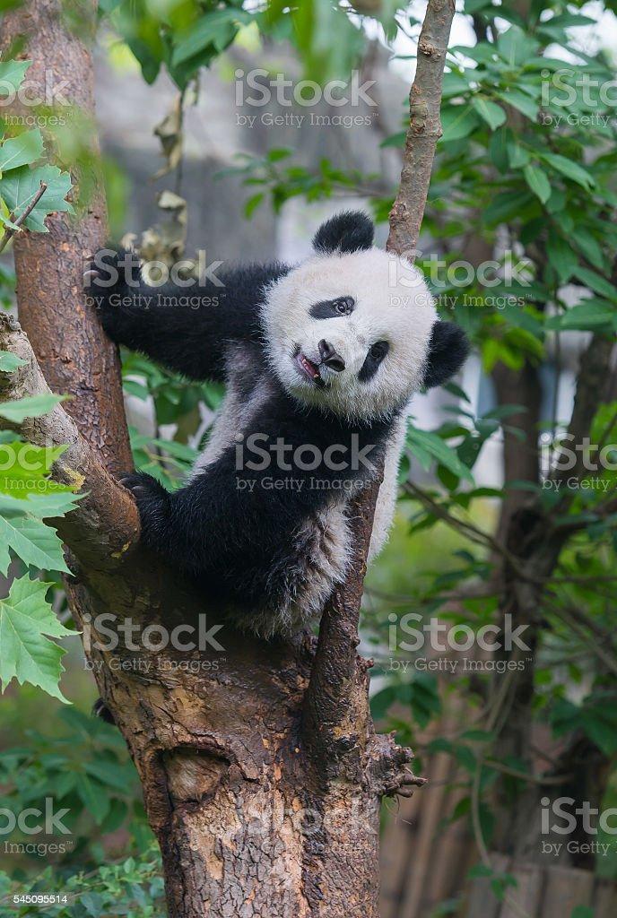 Cute panda bear climbing in tree stock photo