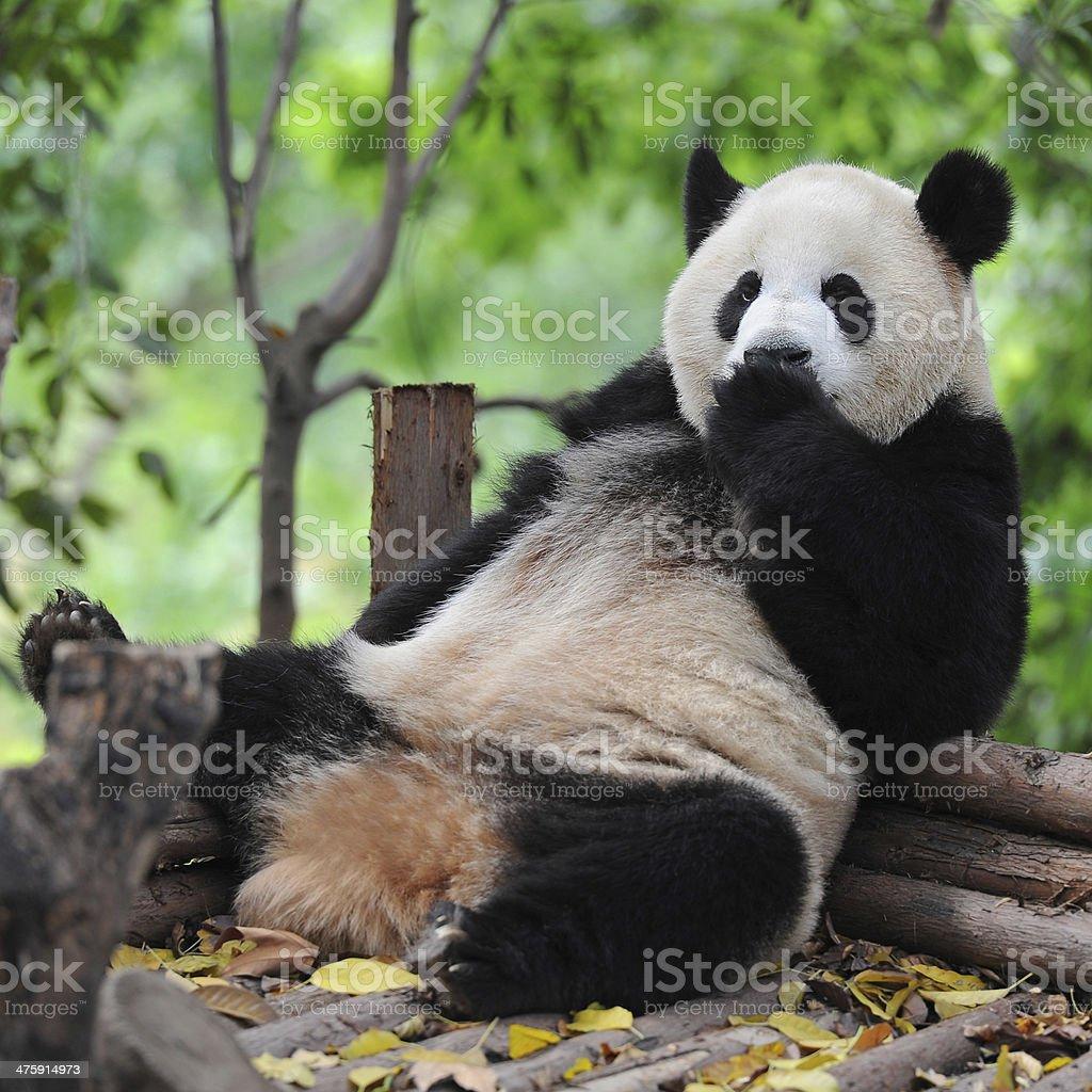 Cute panda bear stock photo