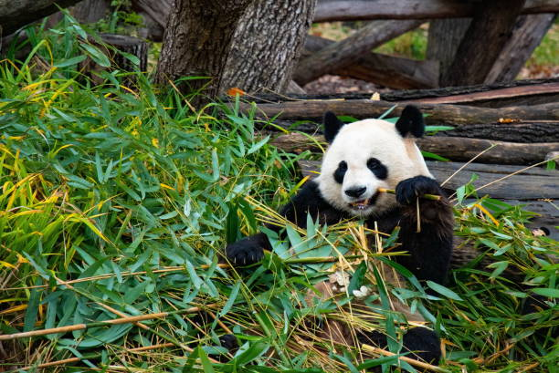Cute panda biting and chewing bamboo branches stock photo