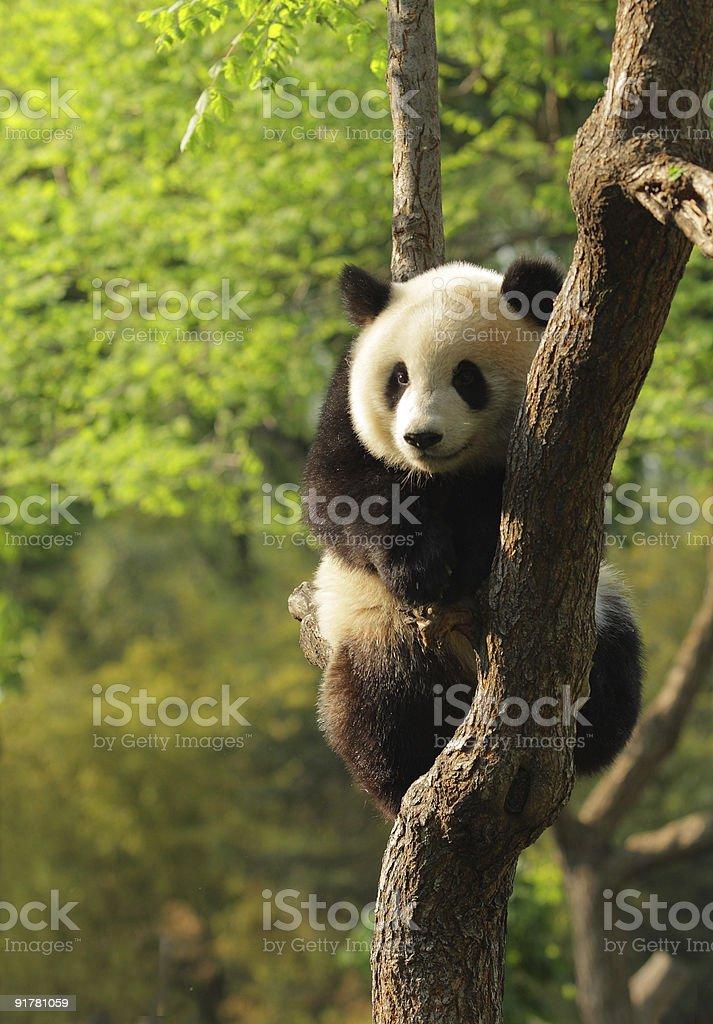 Cute panda cub royalty-free stock photo