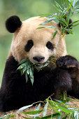 Hello panda with balloon cartoon illustration,  greeting card, kids cards for birthday poster or banner, cartoon invitation