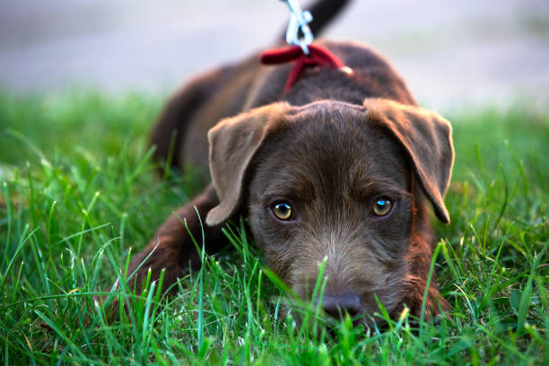 Cute patterdale terrier puppy lying on grass big eyes picture id1160571033?b=1&k=6&m=1160571033&s=612x612&w=0&h=qtljhf45wmb9w0qrkzpqqb  jxhonkw006nagirao4s=