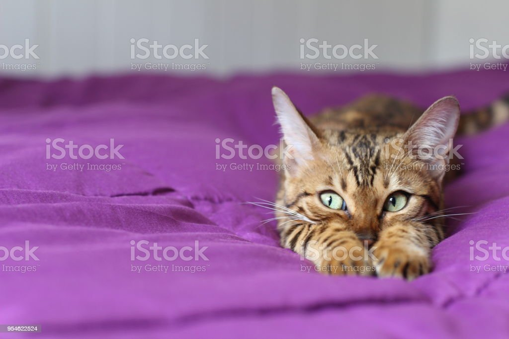 Cute pedigreed cat showing tenderness stock photo