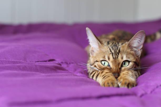 Ternura de apresentando gato bonito com pedigree - foto de acervo