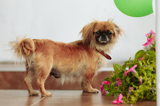 istock Cute pekingese with a collar standing in the room near the flowers 1134917040