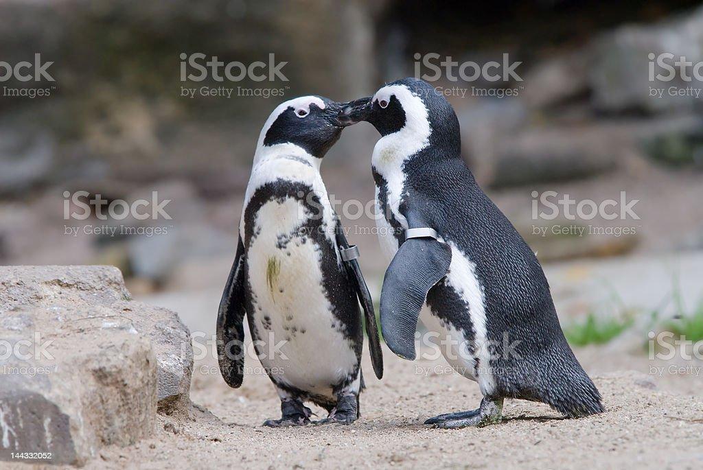 Niedlichen Pinguin – Foto
