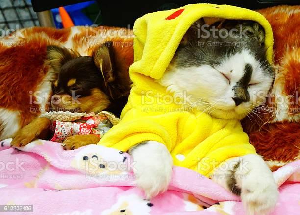 Cute persian cat little dog and a hamster by yutafamily picture id613232486?b=1&k=6&m=613232486&s=612x612&h=xpundmkqatho00qrmct4ku204b4skqciltxdwkdjgcm=