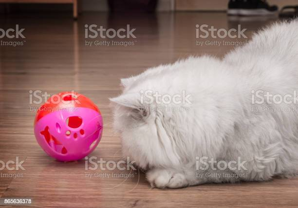 Cute persian cat playing with a pinky ball picture id865636378?b=1&k=6&m=865636378&s=612x612&h=ptrk ctmii4s7d1fulkni5w4nyd9nuqqcewc37af6ag=