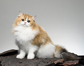 Cute Persian Cat - Young animal
