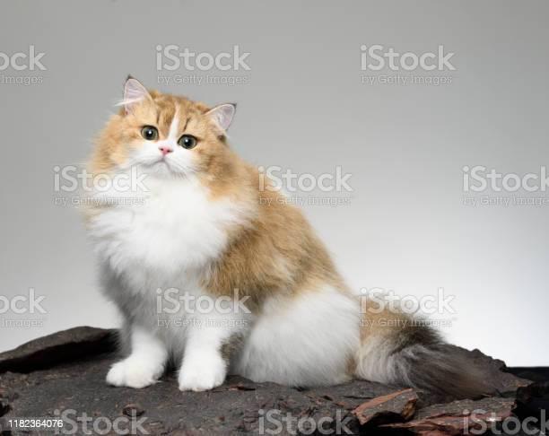 Cute persian cat young animal picture id1182364076?b=1&k=6&m=1182364076&s=612x612&h=85txct27ruaxmjgl6qwp0np7hyk1e2jfiuetfgxupdm=