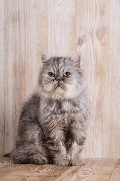 Cute persian grey kitten – zdjęcie