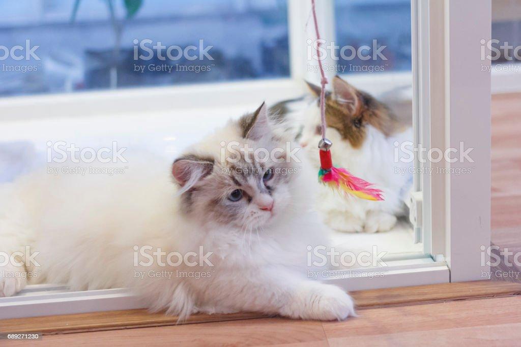 Süße Perser Munchkin Katze In Weißen Und Grauen Farbe Spielen Ein ...