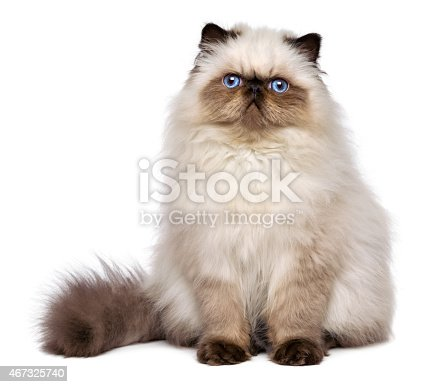 Cute 3 month old persian seal colourpoint kitten is sitting frontal, isolated on white background