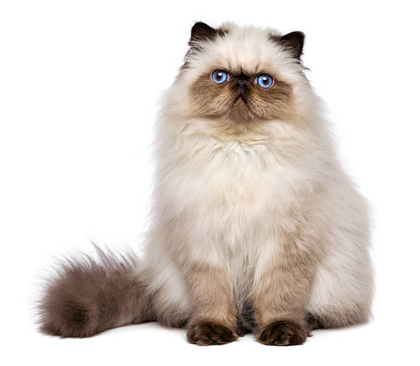Cute persian seal colourpoint kitten is sitting frontal picture id467325740?b=1&k=6&m=467325740&s=612x612&w=0&h=bbfdxeyxiasegqt3acqil nxj 3gg4hotow5mhb1zri=