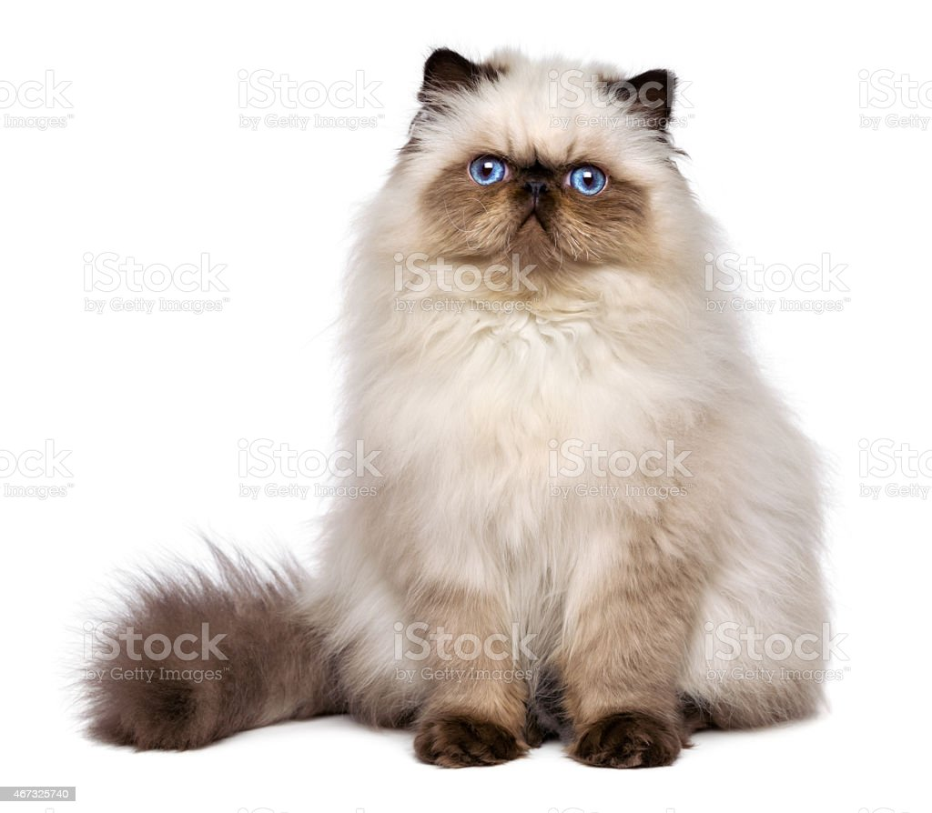 Cute persian seal colourpoint kitten is sitting frontal stock photo