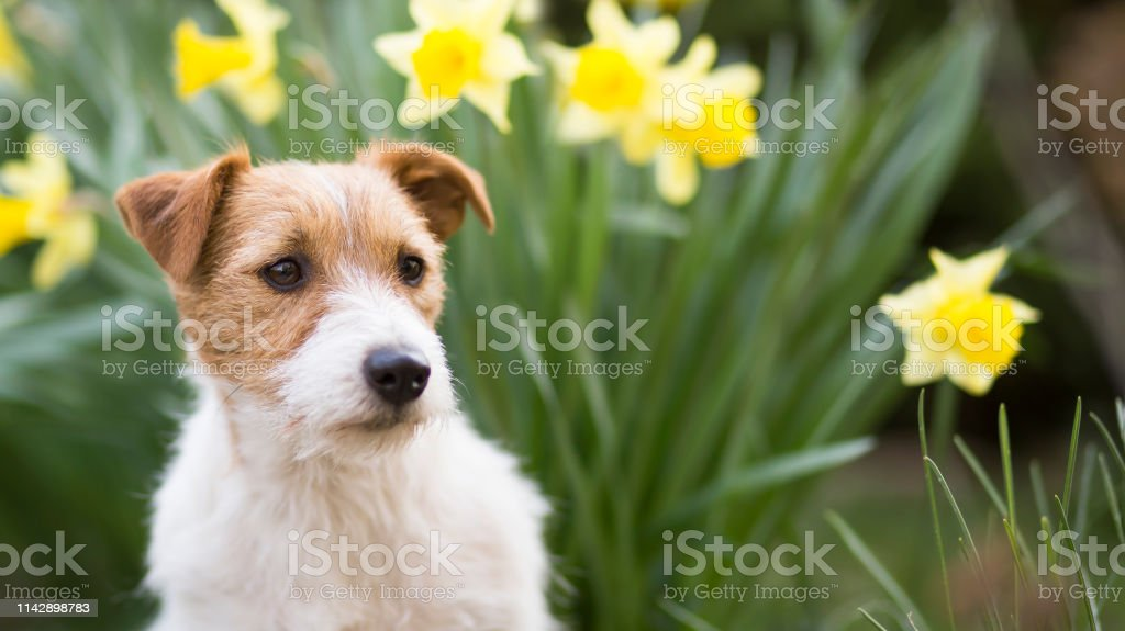 Cute jack russell pet dog puppy with daffodil easter flowers in...