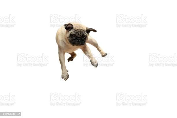 Cute pet dog pug breed jumping with happiness feeling picture id1124400167?b=1&k=6&m=1124400167&s=612x612&h=vr7p7480midcpm0nqikoumylfdntwub86nvejf4ioac=