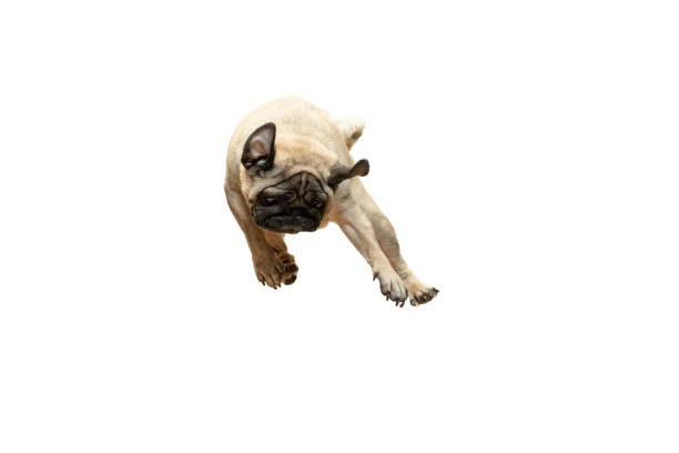 Cute pet dog pug breed jumping with happiness feeling picture id1124400175?b=1&k=6&m=1124400175&s=612x612&w=0&h=z syqusfw oejp7ktececjihcz1ka5vlspbdfzsa9xc=